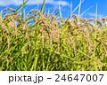 水田 田 稲の写真 24647007