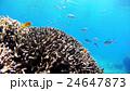 魚 海中 珊瑚の写真 24647873