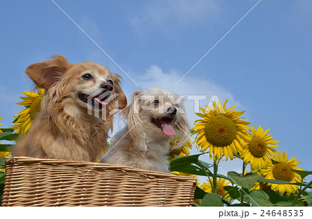 dogs 24648535