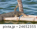 close up Water monitor lizard 24652355