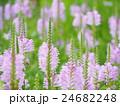 植物 花 カクトラノオの写真 24682248