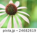 エキナセア 花 ムラサキバレンギクの写真 24682619