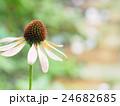 エキナセア 花 ムラサキバレンギクの写真 24682685