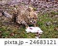 白ウサギを食べるチーター 24683121