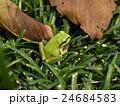 この黄緑色のカエルはアマガエル 24684583