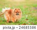 犬 小型犬 散歩の写真 24685386