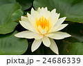 Yellow water lily 24686339