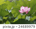 不忍池ジバスの花 24689979