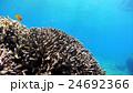 海中 阿嘉島 サンゴの写真 24692366