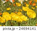 ケシ アイスランドポピー ヒナゲシの写真 24694141