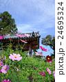 般若寺のコスモス 24695324