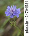 マツムシソウ 花 植物の写真 24704584