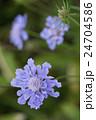 マツムシソウ 花 植物の写真 24704586