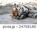 お昼寝トラ 24708180