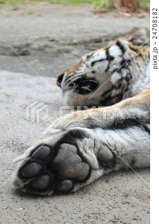 虎の肉球 24708182