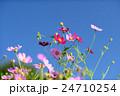 コスモス 花 青空の写真 24710254