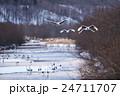 川沿いを飛んでくるタンチョウ 24711707