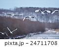 ねぐらから飛んできたタンチョウの群れ 24711708