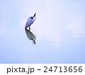 水面 アオサギ 野鳥の写真 24713656
