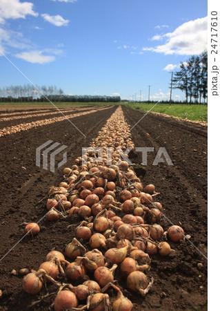 玉葱畑 24717610