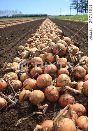 玉葱畑 24717611