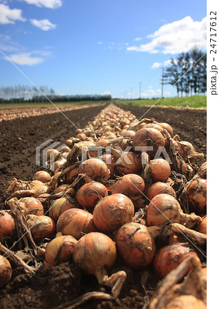 玉葱畑 24717612