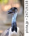 エミュー 鳥 鳥類の写真 24719138