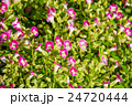 花 お花 フラワーの写真 24720444