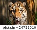 トラ 虎 ヒョウ属の写真 24722010