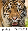 トラ 虎 ヒョウ属の写真 24722011