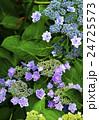 紫陽花 あじさい 額紫陽花の写真 24725573