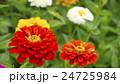 植物 花 百日草の写真 24725984