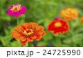 植物 花 百日草の写真 24725990