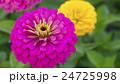 植物 花 百日草の写真 24725998