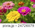 植物 花 百日草の写真 24726079