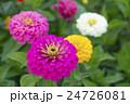植物 花 百日草の写真 24726081