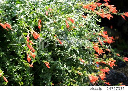 ハチドリが好きな花 Zauschneria californica 24727335