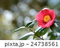 椿の花と雪 24738561