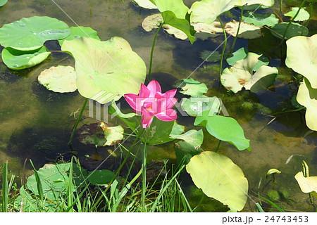 小さなハス畑の小さなハスの花:山田池公園:大阪府枚方市 24743453