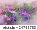 shallow DOF cosmos flowers background 24763783