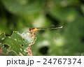 アオモンイトトンボ 昆虫 トンボの写真 24767374