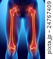 大腿骨 骨 人体のイラスト 24767409
