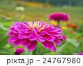 植物 花 百日草の写真 24767980