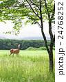 エゾシカ 動物 野生動物の写真 24768252