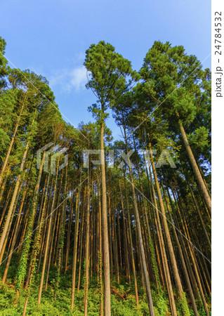 天高く伸びる杉林と青空 24784532