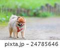 ポメラニアン ポメ 犬の写真 24785646