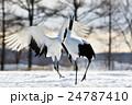 タンチョウ 丹頂鶴 鶴の写真 24787410