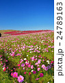 日立海浜公園 コスモスと紅葉したコキア 24789163
