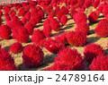 コキア 紅葉 ほうき草の写真 24789164