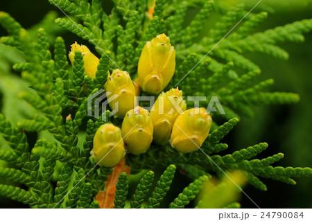ニオイヒバの葉っぱと実 24790084